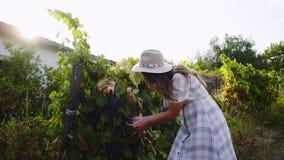 Mujer que escoge las uvas en planta de vid almacen de metraje de vídeo