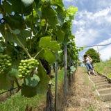 Mujer que escoge las uvas verdes Foto de archivo libre de regalías