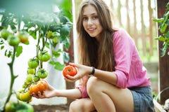 Mujer que escoge los tomates frescos Fotos de archivo libres de regalías