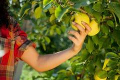 Mujer que escoge manzanas verdes en una huerta Imágenes de archivo libres de regalías