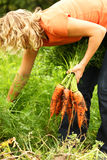 Mujer que escoge zanahorias frescas imagen de archivo libre de regalías