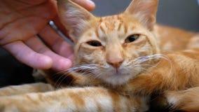 Mujer que frota ligeramente un gato egipcio rojo que miente en la silla metrajes