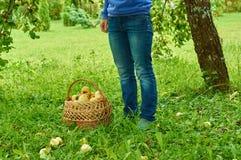 Mujer que hace una pausa una cesta por completo de manzanas frescas fotos de archivo