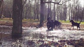 Mujer que juega con los perritos bernese del perro de pastor almacen de metraje de vídeo