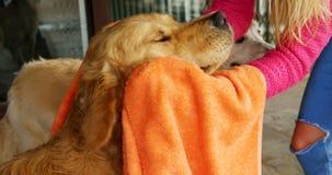 Mujer que limpia su perro con una toalla 4k almacen de video