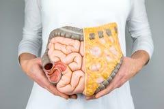 Mujer que lleva a cabo el modelo de intestinos humanos delante del cuerpo Fotografía de archivo