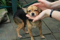Mujer que lleva a cabo la cabeza de un pequeño perro lindo imagen de archivo