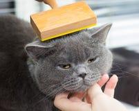 Mujer que peina el gato británico en blanco imágenes de archivo libres de regalías