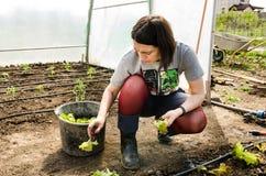 Mujer que planta las ensaladas en invernadero Fotos de archivo