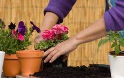 Mujer que planta las flores Imágenes de archivo libres de regalías