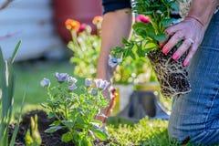 Mujer que planta las flores en yarda Fotos de archivo libres de regalías