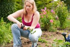 Mujer que planta las fresas en su jardín Fotos de archivo