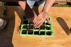 Mujer que planta las semillas del maíz verde en el suelo fértil, jardín Imagen de archivo
