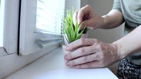 Mujer que pone las plantas verdes decorativas en macetas en un travesaño de la ventana, cuidando para las plantas andcreating com almacen de metraje de vídeo