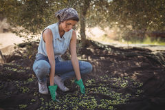 Mujer que recoge aceitunas en la granja Imágenes de archivo libres de regalías