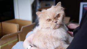 Mujer que sostiene el gato persa en su brazo y que peina su piel almacen de video