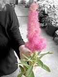 Mujer que sostiene la flor rosada Imágenes de archivo libres de regalías