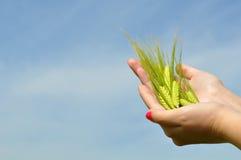 Mujer que sostiene trigo verde fresco Imagen de archivo libre de regalías
