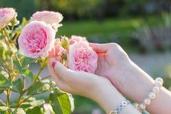 Mujer que sostiene una rosa blanda del rosa en manos Imagenes de archivo