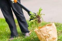 Mujer que tira de malas hierbas Imágenes de archivo libres de regalías
