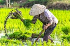 Mujer que trabaja en campo del arroz Fotos de archivo libres de regalías