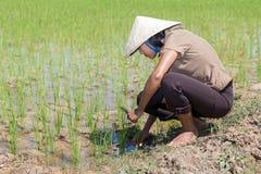 Mujer que trabaja en el campo del arroz Imagen de archivo