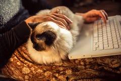 Mujer que trabaja en el ordenador portátil con su gato del birman Imagenes de archivo