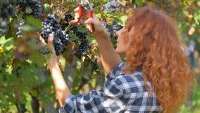 mujer Rojo-dirigida que cosecha las uvas almacen de metraje de vídeo