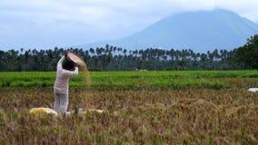 Mujer rural que avienta el grano palay del arroz en un campo abierto del arroz metrajes