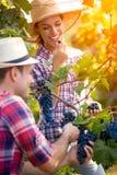 Mujer sonriente que come la uva mientras que uvas de la cosecha del hombre Imágenes de archivo libres de regalías