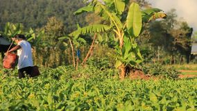Mujer tailandesa que riega su granja vegetal orgánica con usar y yugo y 2 regaderas almacen de video