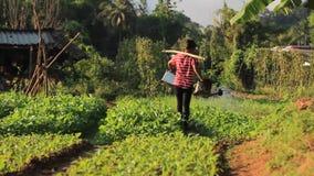Mujer tailandesa que riega su granja vegetal orgánica con usar y yugo y 2 regaderas almacen de metraje de vídeo