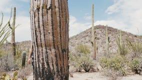 Mujer turística feliz hermosa joven de la cámara lenta en paseos negros del vestido por el cactus grande del Saguaro en desierto  almacen de metraje de vídeo