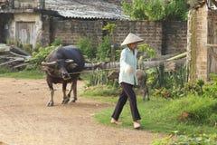 Mujer vietnamita con el búfalo de agua Fotografía de archivo