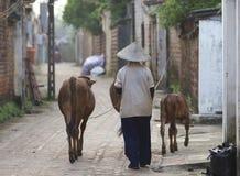 Mujer vietnamita con el búfalo de agua Fotos de archivo libres de regalías