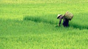 Mujer vietnamita en campo del arroz en valle del PA del Sa fotos de archivo