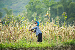 Mujer vietnamita que trabaja en campo de maíz en el norte de Vietnam Imagen de archivo