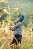 Mujer vietnamita que trabaja en campo de maíz en el norte de Vietnam Imágenes de archivo libres de regalías