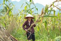Mujer vietnamita que trabaja en campo de maíz en el norte de Vietnam Imagen de archivo libre de regalías