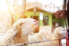 Mujer y ovejas de alimentación que mastican la hierba en granja Foto de archivo libre de regalías
