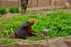 Mujeres en agricultura o cultivar un huerto Fotografía de archivo libre de regalías