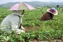 Mujeres filipinas que trabajan en campo de la fresa Foto de archivo libre de regalías