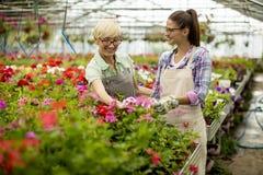 Mujeres mayores y jovenes que trabajan junto en jardín de flores en el sunn Imágenes de archivo libres de regalías