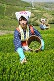 Mujeres que cosechan las hojas de té Imagen de archivo libre de regalías