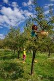 Mujeres que escogen manzanas en un árbol Imágenes de archivo libres de regalías
