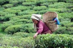 Mujeres que escogen té en Darjeling Foto de archivo libre de regalías