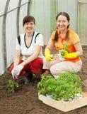 Mujeres que plantan plantas de semillero en invernadero Imagen de archivo libre de regalías