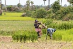 Mujeres que trabajan en campo del arroz fotos de archivo libres de regalías