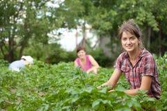 Mujeres que trabajan en el campo de la patata Imagen de archivo libre de regalías