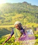 Mujeres srilanquesas que escogen las hojas de té que cosechan concepto Imagen de archivo